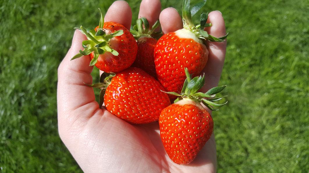 Handvoll-Erdbeeren