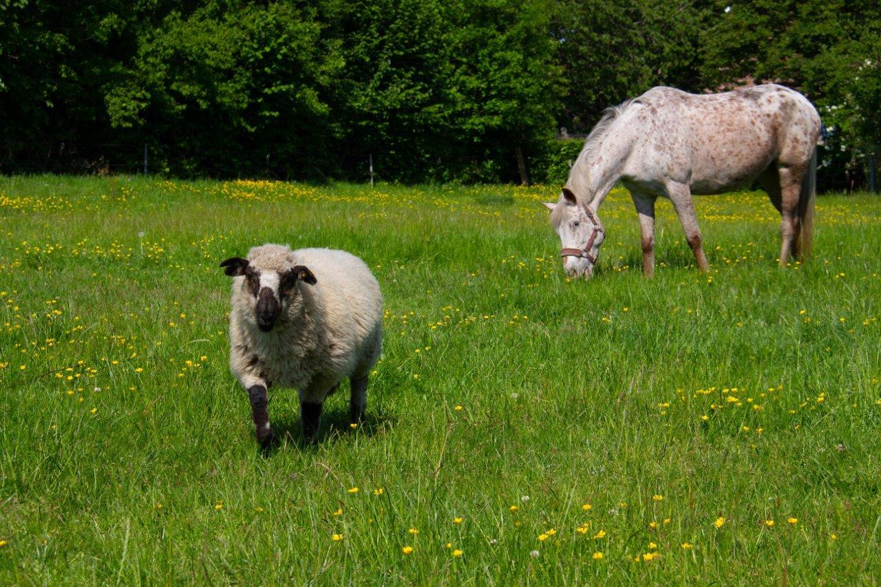 Pferd und Schaf