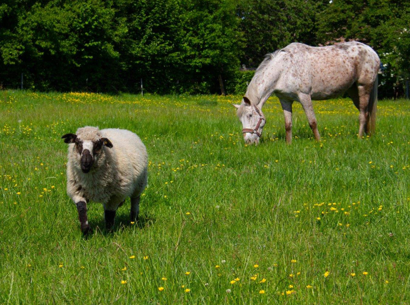 Pferd-_und-Schaf